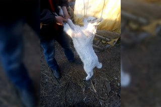 Как на Днепропетровщине козленка спасали (фото) - ФОТО
